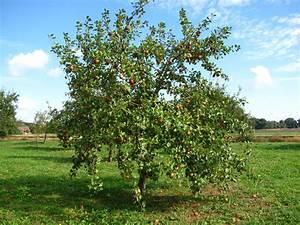 Apfelbaum Schneiden Sommer : apfelbaum mit reifen fr chten foto bild jahreszeiten ~ Lizthompson.info Haus und Dekorationen