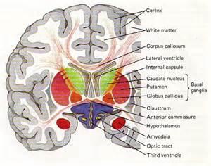 Diagram of the Brain Coronal Cut