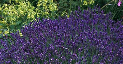 true lavender plants beechwood landscape architecture and construction true lavender featured plant of the day