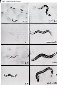 Bright Field Images Of C  Elegans Life Stages  Including