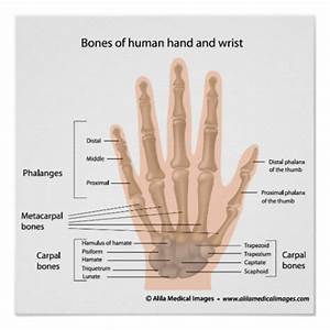 Bones Of The Hand  Labeled Diagram  Poster