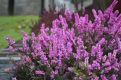 erika pflanze winterhart erika pflanze winterhart erica gracilis sommererika glockenheide erika pflanzen versand f r die