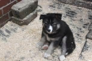Malamute Husky Wolf Mix Puppies