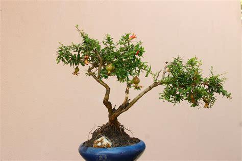 melograno coltivazione in vaso 8 piante da frutto perfette per la coltivazione in vaso