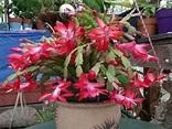 Schlumbergera bridgesii - Christmas Cactus | World of ...