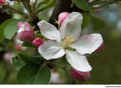 what is the state flower michigan state flower apple blossom
