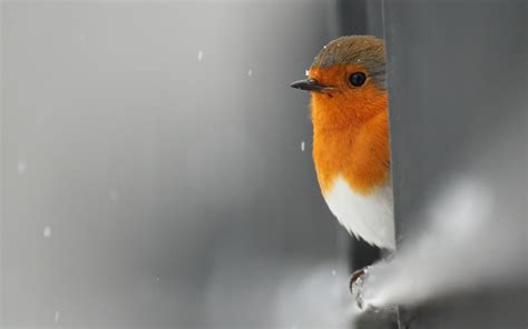 You can set small, robin bird, tree branch wallpaper in windows 10 pc, android or iphone mobile or mac book. Baby robin bird #7021955