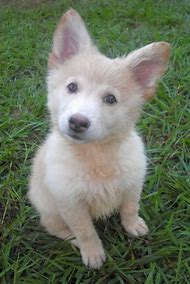 White German Shepherd and Husky Mix