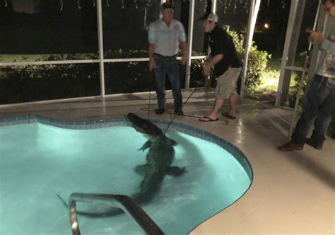 Homeowners Beware Alligator Found In Florida Backyard