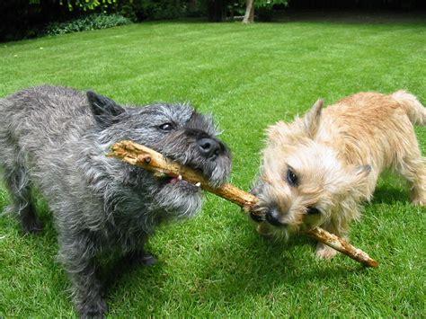 Filecairn Terrier Garten Jpg Wikimedia Commons