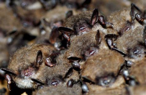 cameras built to help protect hibernating bats in pa bat