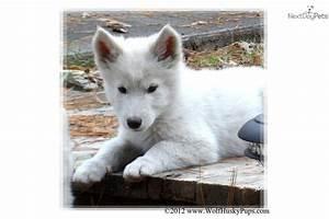 White Wolf Hybrid Puppies
