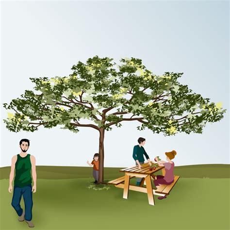 comment tailler un tilleul comment tailler un arbre en tonnelle