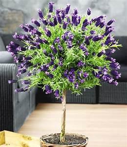 Lavendel Pflanzen Im Topf : lavendel op stam geurplanten bij baldur nederland ~ Lizthompson.info Haus und Dekorationen