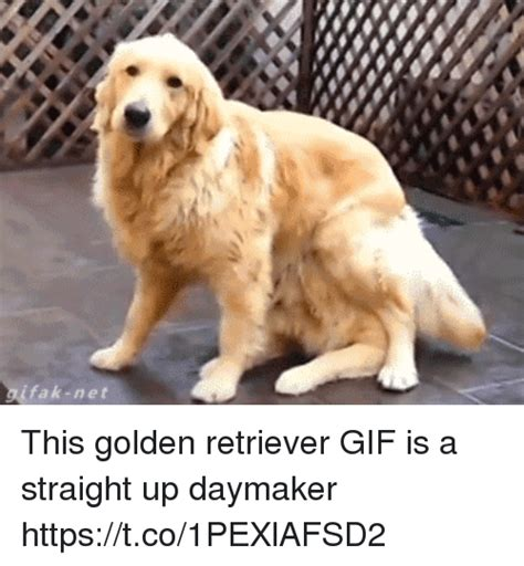 Golden Retriever Meme - fak net this golden retriever gif is a straight up daymaker httpstco1pexlafsd2 gif meme on sizzle