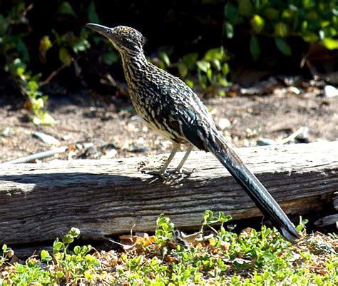roadrunner new mexico state bird life bird list pinterest