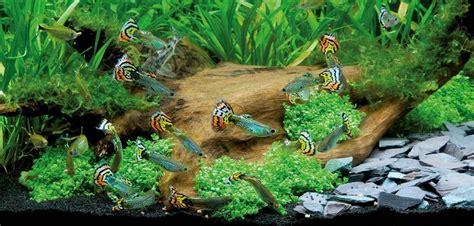 le guppy ou poecilia reticulata poisson d eau douce poisson des aquariums animogen
