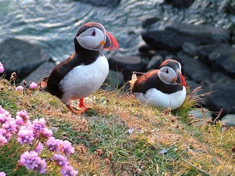 puffins orkney com