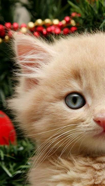 Christmas Cat Iphone Cats Funny Kitty Wallpapers