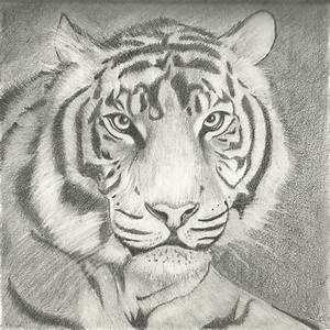 Tiger pencil Drawing by Dracalibur on DeviantArt