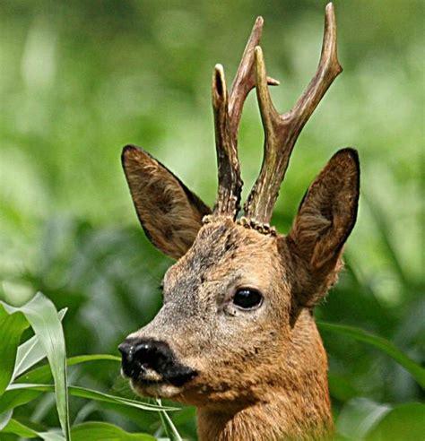chevreuil renard sanglier la chasse c est aussi l 233 t 233 27 06 2014 ladepeche fr