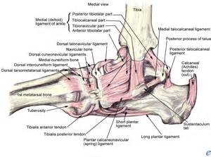 Medial Ankle Anatomy Ligaments
