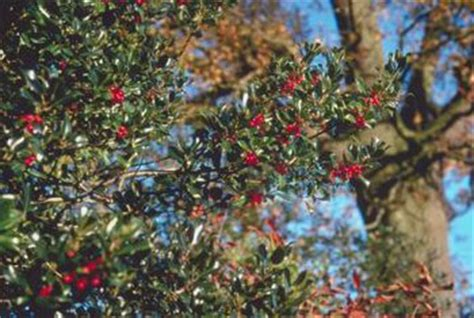 what deciduous tree has berries in winter trees with winter berries home guides sf gate