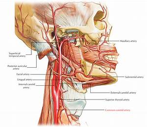 Easy Notes On 【Common Carotid Arteries】Learn in Just 4 ...