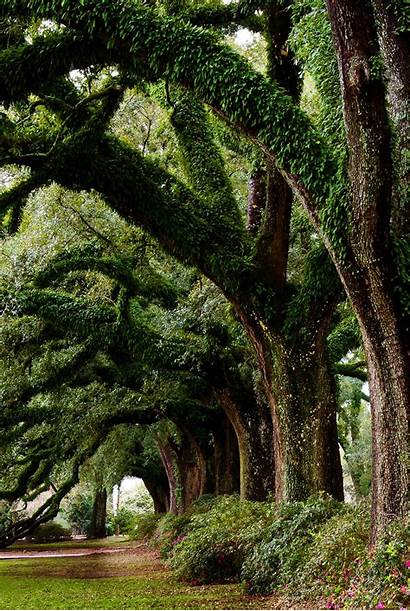 Trees Oak Ancient Amazing Line Majestic Shutterstock