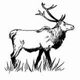 Elk Coloring Pages Bull Sketch Drawing Moon Clipart Print American Native Were Born Snows Long Printable Totem Spirit Getcolorings Elf sketch template