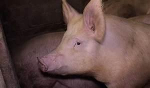 Pig Tail Docking Uk