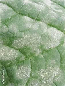 Blattläuse Gurken Bekämpfen : echter mehltau gurke gem se pflanzenschutzinfothek ~ Lizthompson.info Haus und Dekorationen