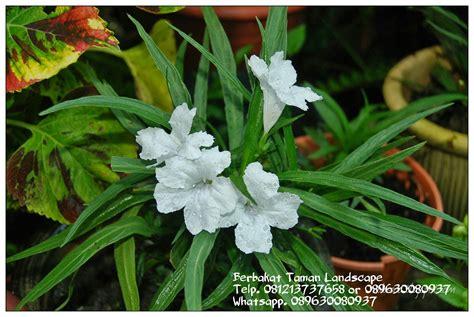 jual pohon ruellia mini tanaman hias ruellia mini