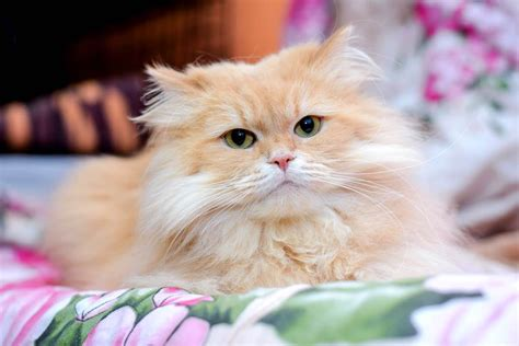 Our story gato x our planet stockists blog. Todo lo que necesitas saber sobre el gato persa