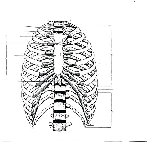 The body of the sternum refers to its elongated central part of the sternum. The best free Anterior drawing images. Download from 45 ...