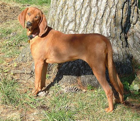 coonhound shedding redbone coonhound