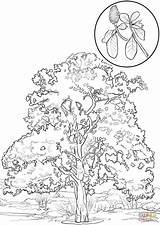 Magnolia Coloring Southern Tree Flower Tulip Aspen Trees Printable Leaves Poplar Drawing Getcolorings Sketch Colo Template Categories sketch template