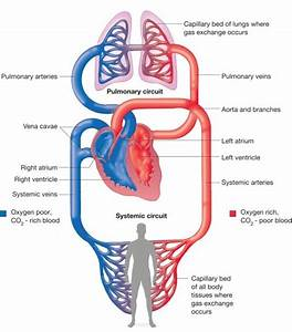Schematic Diagram Of Blood Circulation In Human Body