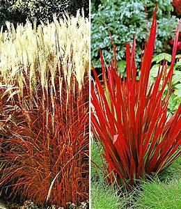Ziergräser Für Den Garten : rote gr ser kollektion ziergr ser bei baldur garten ~ Lizthompson.info Haus und Dekorationen