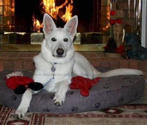 solid black puppy    snow white german shepherd