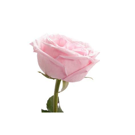 light pink roses light pink garden o hara pink roses flower muse