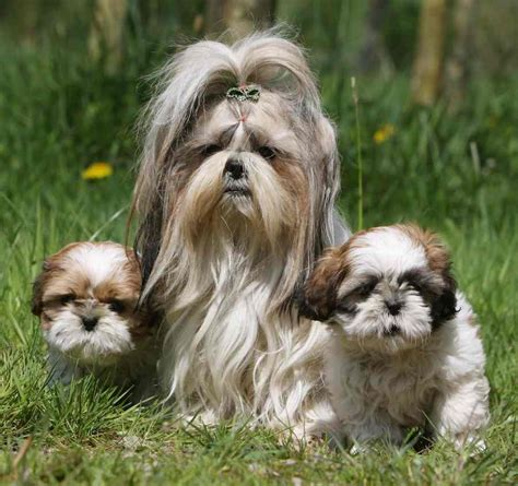 shih tzu shedding hypoallergenic breeds dogs that don t shed k9
