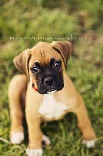 Cutest Boxer Puppies