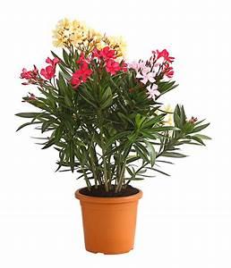 Oleander Winterhart Kaufen : oleander busch 39 trio 39 dehner ~ Eleganceandgraceweddings.com Haus und Dekorationen