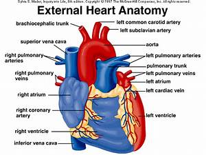 External Anatomy Of Heart
