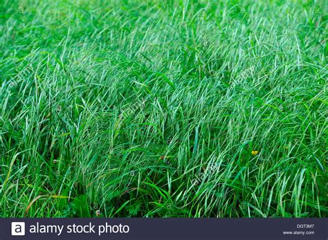 Blades Of Grass, Red Fescue Or Creeping Red Fescue Grass