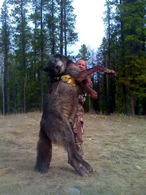 world record wolf alberta hunting