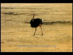 How fast does an Ostrich run?.mov - YouTube