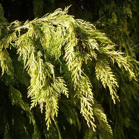 ornamental conifers chamaecyparis lawsoniana winston churchill golden lawsons cypress