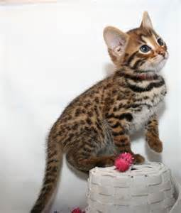 how much are bengal cats 17 best ideas about bengal cat cost on cats